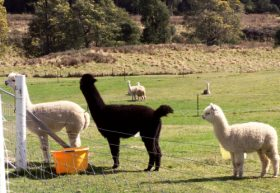 Maydena Country Cabins Accommodation  Alpaca Stud - Accommodation Melbourne